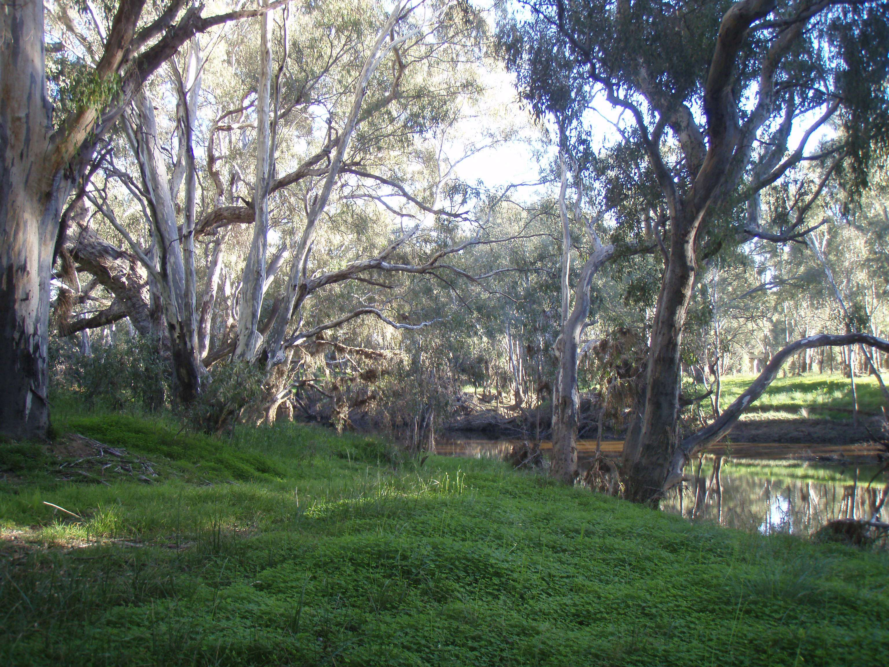 Trees along the Campaspe River